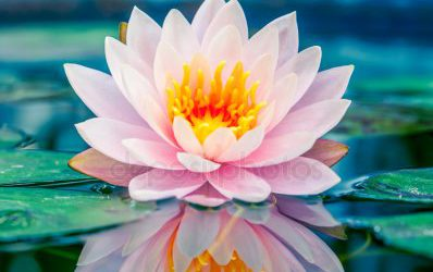 depositphotos_40010085-stock-photo-beautiful-pink-lotus-water-plant